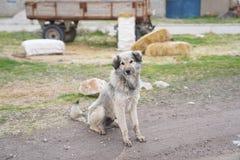 Un bello cane peloso grigio appena davanti ad un rimorchio di trattore a fotografia stock