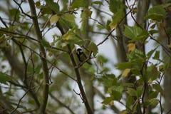Un bello capezzolo che riposa su un ramo, con un verso nel becco Front View Fotografie Stock