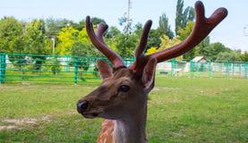 Un bello caro macchiato nello zoo immagine stock libera da diritti