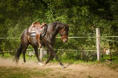 Un bello cavallo del cowboy funziona in uno spazio circolare Il cavallo si siede senza un cavaliere Il cavallo ha un colore di ma immagini stock libere da diritti