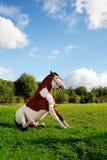 Un bello cavallo nel campo sta sedendosi sul g Fotografia Stock Libera da Diritti