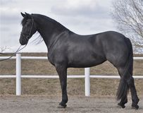 Un bello cavallo nero Fotografie Stock
