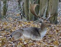 Un bello cervo immagini stock