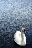 Un bello cigno bianco nell'acqua blu Immagini Stock Libere da Diritti