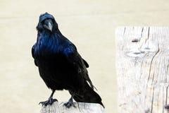 Un bello corvo si siede su un banco su un fondo leggero immagine stock
