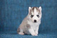 Cane nero con gli occhi azzurri foto stock 126 cane nero con gli occhi azzurri immagini stock - Husky con occhi diversi ...