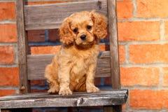 Un bello cucciolo sprezzante della miscela di re Charles Spaniel si siede su una vecchia sedia Fotografia Stock Libera da Diritti