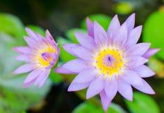 Un bello e rosa viola variopinto waterlily o fiore di loto Immagine Stock