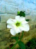 Un bello fiore bianco che ha colore verde nel mezzo Immagini Stock Libere da Diritti