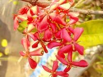 Un bello fiore del fiore rosso Immagini Stock