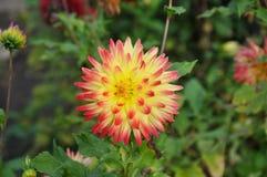 Un bello fiore della dalia che cresce nel giardino di estate Fotografie Stock