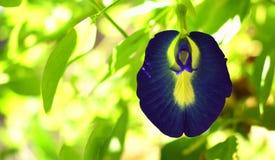 Un bello fiore della petunia con gli ambiti di provenienza verdi fotografia stock libera da diritti