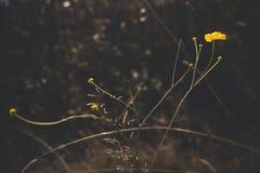 Un bello fiore di colore giallo si sviluppa su un prato di autunno Questi sono gli ultimi fiori prima dell'inizio del freddo dell fotografia stock libera da diritti