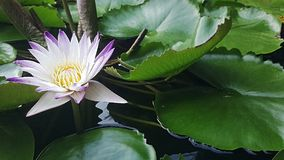 Un bello fiore di loto Immagini Stock Libere da Diritti