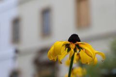 Un bello fiore di margherita gialla sui precedenti confusi della città fotografie stock libere da diritti