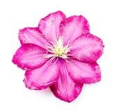 Un bello fiore di Rosa Fotografia Stock Libera da Diritti