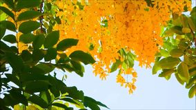 Un bello fiore giallo di cassia fistula con le foglie verdi ondeggia in una brezza calda della molla ad un giardino botanico video d archivio