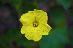 Un bello fiore giallo isolato su fondo scuro immagini stock