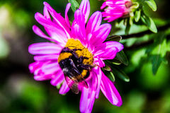 Un bello fiore rosa con l'ape Fotografia Stock Libera da Diritti