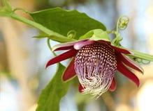 Un bello fiore rosso, bianco & verde di passione Immagine Stock