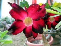 Un bello fiore rosso dell'euforbia di Ombre nel giardino Fotografia Stock