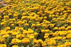 Un bello fondo giallo del fiore del Helichrysum fotografia stock libera da diritti