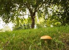 Un bello fungo sotto un albero verde in una foresta olandese fotografia stock