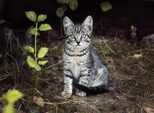 Un bello gattino a strisce bianco grigio moustached poco sta sedendosi sull'erba Sguardi interessati e sospettosi del gattino via immagine stock libera da diritti