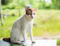 Un bello gatto tailandese di tre colori della tavola sulle sedere naturali felicemente Fotografia Stock Libera da Diritti
