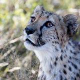 un bello ghepardo Fotografia Stock