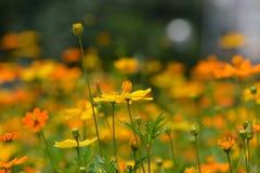 Un bello giacimento di fiori dell'universo Immagine Stock