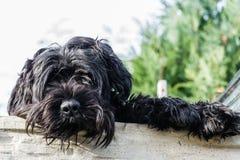 Un bello grande cane nero che esamina un recinto Fotografia Stock
