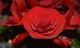 Un bello grande fiore rosso della begonia fotografia stock