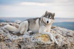 Un bello husky grigio si trova su una roccia coperta di muschio contro un fondo delle nuvole e di un cielo blu e esamina la macch Immagini Stock Libere da Diritti
