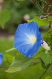 Ipomoea blu fotografie stock libere da diritti