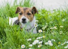 Jack Russell Terrier fotografie stock