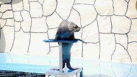 Un bello leone marino preparato femminile esegue in scena vicino allo stagno Mammiferi dell'acqua archivi video