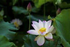 Un bello loto nella campagna della Cina fotografia stock