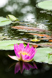 Un bello loto o waterlily fiore fucsia in stagno Fotografia Stock