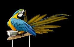 Un bello macaw che incide la sua piuma Immagine Stock