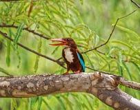 Un bello martin pescatore Fotografie Stock Libere da Diritti