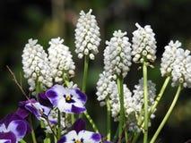 Un bello mazzo dei muscaris del jacinth misti con le viole immagine stock libera da diritti