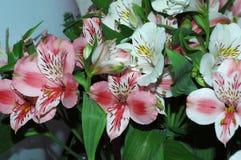 Un bello mazzo di Alstroemeria dei fiori Macro Potete usare Fotografia Stock Libera da Diritti
