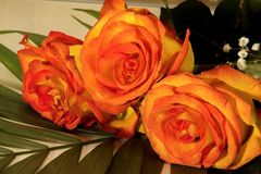 Un bello mazzo di tre rose giallo-rosse Immagine Stock