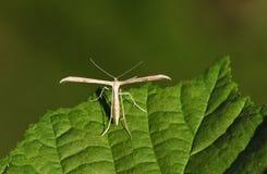 Un bello monodactyla comune di Plume Moth Emmelina che si appollaia su una foglia fotografia stock
