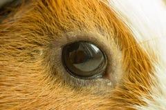 Un bello occhio di un roditore marrone redheaded guarda fisso fuori la finestra immagini stock libere da diritti