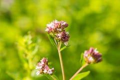 Un bello origano fiorisce in un giardino pronto per tè Buona spezia per carne Giardino vibrante di estate Fotografie Stock Libere da Diritti