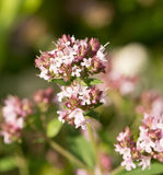 Un bello origano fiorisce in un giardino pronto per tè Buona spezia per carne Giardino vibrante di estate Fotografia Stock