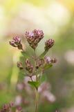 Un bello origano fiorisce in un giardino pronto per tè Buona spezia per carne Giardino vibrante di estate Immagini Stock Libere da Diritti