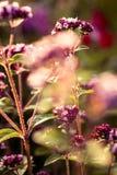 Un bello origano fiorisce in un giardino pronto per tè Buona spezia per carne Giardino vibrante di estate Fotografia Stock Libera da Diritti